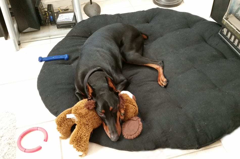 Doberman sleeping on his bed with a teddy bear.