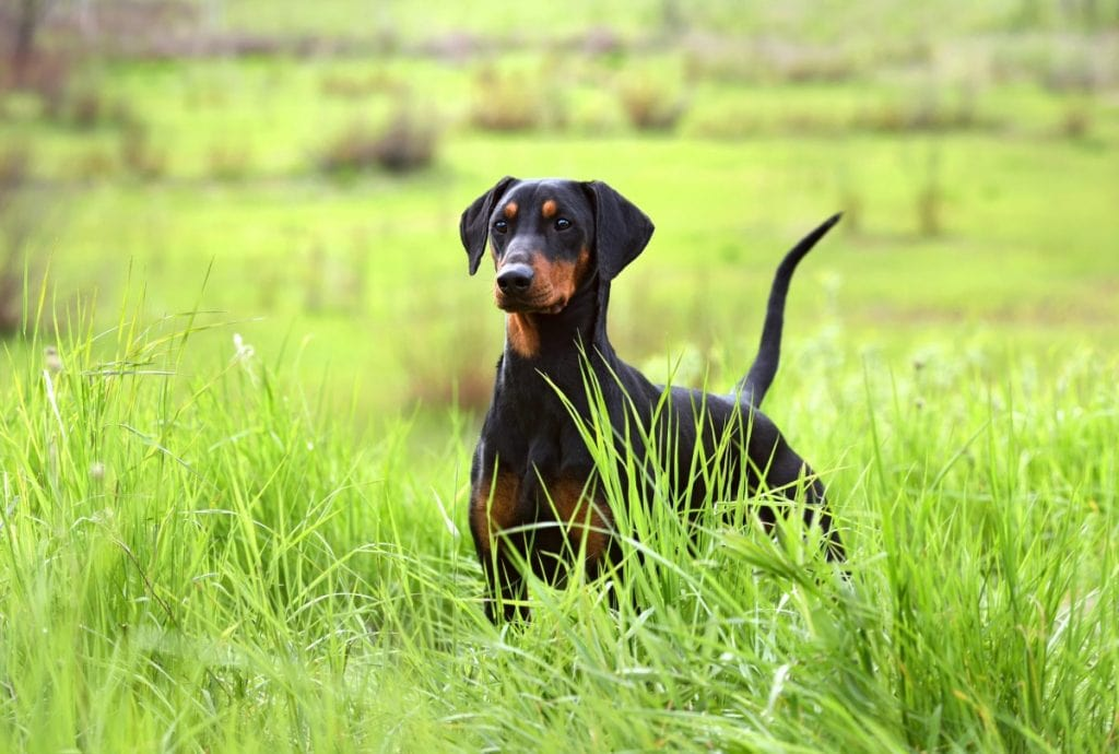 Doberman in the grass with a natural tail.