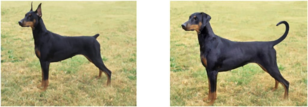 A picture of a two Dobermans. One with a docked tail and cropped ears and one with natural ears and tail.