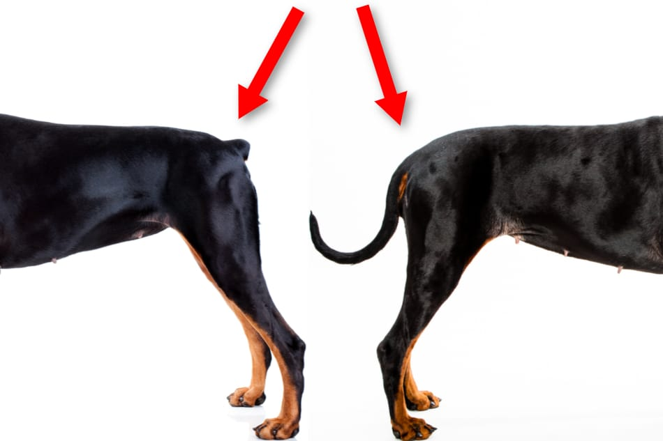 Two Doberman tails side by side. One docked and one natural.