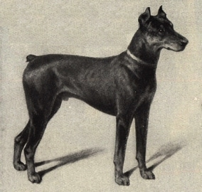 One of the first Doberman Pinschers shown with cropped ears in the late 1800's.